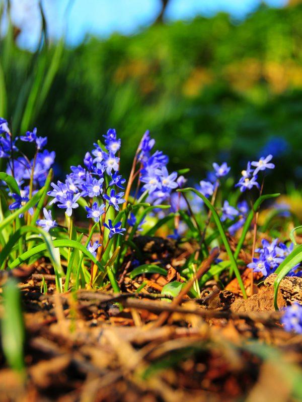 bluebell-3698287_1920